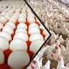 سورية كانت تنتج سنوياً 4,4 مليار بيضة مائدة و180 ألف طن فروج.. قاديش: الإنتاج انخفض 40% والأسعار خاضعة للعرض والطلب