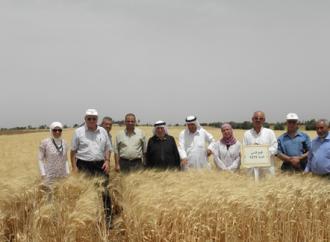 الأردن يعتمد صنفاً جديداً منَ القمح من إنتاج «أكساد»