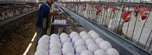 لجنة مُربي الدواجن تطالب بتسعير الفروج والبيض على أساس التكلفة