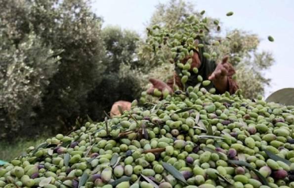 الزراعة تحدد مواعيد قطاف الزيتون.. حابو: اتباع الطرق السليمة للقطاف والتعبئة