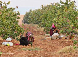 سورية تنتج 65 ألف طن من الفستق الحلبي هذا العام.. وتصدر 1449 طن حتى الآن