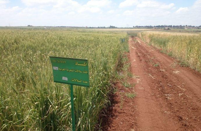 موريتانيا تعتمد 40 صنفا جديداً لأكساد من القمح القاسي والطري و الشعير بإنتاجية عالية