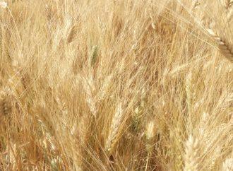 زراعة ريف دمشق تتحضر لحصاد 18615 هكتار بدءً من الغد