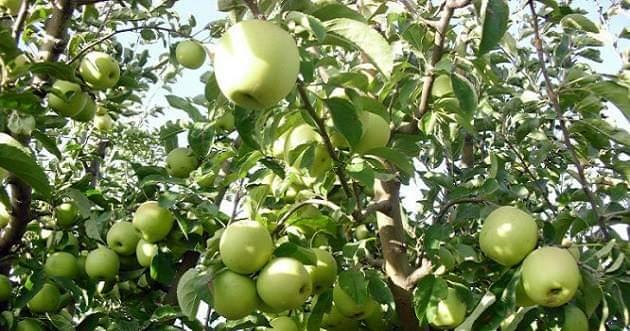 267 ألف طن تقديرات إنتاج التفاح في سورية هذا الموسم.. وحمص في المرتبة الأولى بالإنتاج والسويداء بالمساحة